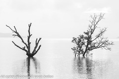 Dead and alive (HellonEarth2006) Tags: alive asia asian blackandwhite cloudy coast dark dead light mangrove ocean sea southeastasia tree