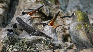 Anna Hummingbird Family