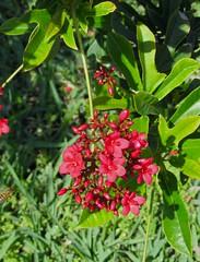 Jatropha (M.P.N.texan) Tags: jatropha flower flowers flowering bloom blooming blooms red padreisland texas succulent