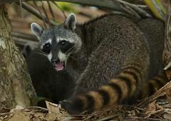 Raccoon, Raton Laveur,(Procyon lotor), Parc National Manuel Antonio, Costa Rica. 2015/02 (joelgambrelle) Tags: nikond300s manuelantonio wildlife costarica raccoon