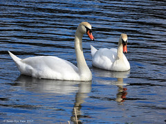Spring Swans (JamesEyeViewPhotography) Tags: birds spring water rivers
