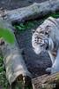 20170420 - BEAUVAL Tigre blanc  - Nikon - 0845 (laurent lhermet) Tags: beauval nikkor18105 nikond3300 tigreblanc