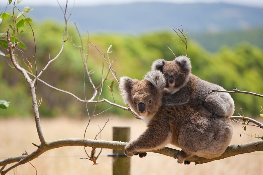 Travelling the east coast of Australia keep an eye out for cuddly Koalas
