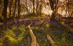 Rise Into Bluebells (Captain Nikon) Tags: woodland woods fallen bluebells ferns birches sunburst sunrise morning springtime spring wildflowers illuminated backlighting shadows leicestershire loughborough england uk nikond7000