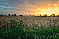 Fields Of Goodness .. (Hazem Hafez) Tags: fields wheat crop green yellow goodness natural poduce grain harvest village agriculture