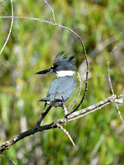 FEMALE BELTED KINGFISHER (concep1941) Tags: birds kingfisherfamily rivers lakes coasts nature