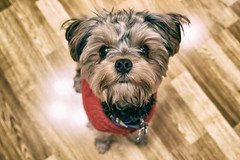 february 2016. chewie (timp37) Tags: chewie pet dog 2016 february illinois