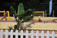 Plante des sables (Fontenay-sous-Bois Officiel FRANCE) Tags: fontenay fontenaysousbois regionparisienne valdemarne iledefrance 94 94120 fsb france fontenaysousoleil sable sand été summer palmier palmtree extérieur outside nikon nikond200