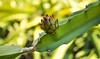 Dragon Kiss (Leitratista) Tags: dragonfruit farm fruit green composition constractivecriticism cactus catchycolors nikoncapture capture snap throughherlens nikonshots nikond3400 1855mmafpvrkit kitlens bokeh delicious learnphotography lovephotography lovenature nature exotic plant explore