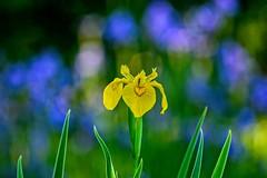One Yellow Iris (brev99) Tags: d610 tamron180f35 gilcreasemuseum blur bokeh flower springblossom niksoftware iris yellowiris blueiris nikviveza perfecteffects17 on1photoraw2017 ononesoftware