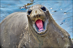 Northern Elephant Seal (hakoar) Tags: northernelephantseal pattern shore mammal call red seal nature nose mouth whiskers animal large california fauna colorful wildlife grey open heavy beach life portrait water eye communicate announce miroungaangustirostris unitedstatesofamerica us growl