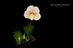 Paphiopedilum Icy Princess HCC/AOS (Orchidelique) Tags: nature plant flower orchid hybrid exotic paphiopedilum paph icyprincess imeldabobdilla icyicywind hcc aos ncjc 20173677 nmountford