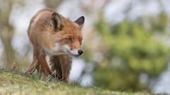 Walk on the wild site ... (Alex Verweij) Tags: fox female wild walking site nature natuur vos vrouw canon 5d mm 125mm f28 markiii oog ogen eye eyes red redfox alexverweij explore