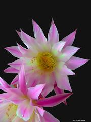 Echinopsis di maggio (Paolo Bonassin) Tags: flowers cactaceae cactacee cactus succulente echinopsis