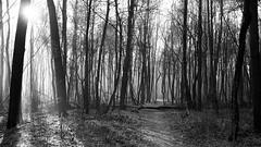 *** (pszcz9) Tags: polska poland przyroda nature natura las forest morning poranek forestimages ścieżka path mgła fog mist słońce sun pejzaż landscape beautifulearth sony a77 bw blackandwhite monochrome czarnobiałe