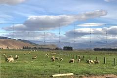 Sheep (Lim SK) Tags: sheep wanaka otago