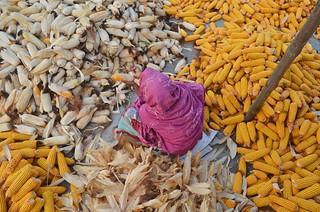 Sorting corn!