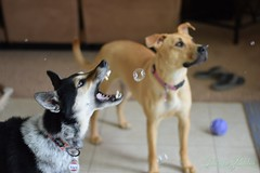 (GothyFaery) Tags: dogs cattledog bubbles snarl cute adorable