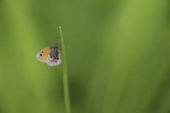 Coenonympha pamphilus (jojesari) Tags: ar117g coenonymphapaphilius mariposa butterfly volvoreta insecto jojesari suso macro