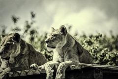 Two lionesses ... (Just Julie - Photography) Tags: lion
