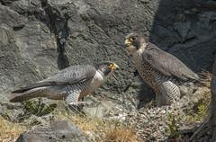 Peregrines (Steven Mcgrath (Glesgastef)) Tags: peregrine peregrinus peregrines nest nesting birdofprey bird raptor glasgow scotland scottish courtship
