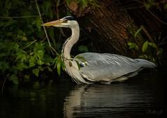 Grey Heron.  [Explored] 😀 (Kel1y J) Tags: greyheron canalsidewildlife canalside canon canoneos400d