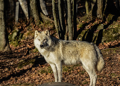 Arctic Wolf, Loup Arctique, Canis Lupus Arctos, Lobo Artico, Lobo Polar, Lobo Blanco, Arctische Wolf (Guy Lacroix) Tags: animal arcticwolf louparctique canislupusarctos loboartico lobopolar loboblanco arctischewolf mammifère loup arcticulv mammal predator prédateur nekra bighana hurar yitiaolang vuk vlk ulv hunt susi wulf lupo ookami vilks wilk lup bolk wolk kurt blaidd dib tamronsp150600mm nikond7100 guylacroixflickr nikon d7100 parcoméga montebello québec canada
