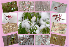 Snowy Day (evisdotter) Tags: snow snowing snö flowers blommor macro allpicssooc collage sprind colors