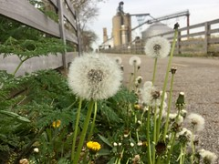 Bike Ride By The Silos (silent_sparky) Tags: farm silo bikeride landscape nature flower dandelions