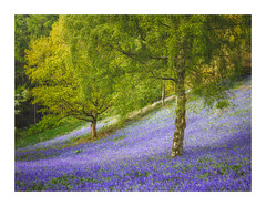 Carpet of Bluebells (Vemsteroo) Tags: bluebells bluebell spring clent worcestershire nature landscape trees birch green yellow phaseone morning sunrise fresh colourful phase flowers wildflowers england uk visitengland clenthills hillside beautiful outdoors exploring