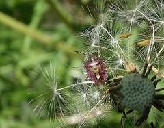 Hairy all round! (rockwolf) Tags: dolycorisbaccarum punaise hairyshieldbug pentatomidae hemiptera heteroptera dandelion insect seedhead haughmondhill shropshire rockwolf