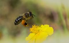 Abeille en vol (Doriane Boilly Photographie Nature) Tags: détail proxi printemps nature faune flore champs prairie sigma nikon