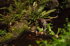 Fishing cat (Prionailurus viverrinus), night safari (tik_tok) Tags: singapore nightsafari night dark lowlight zoo asia animals wildlife prionailurusviverrinus fishingcat