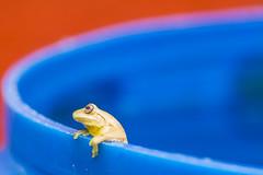 La rana en la piscina (walterguisao) Tags: astoundingimage