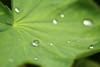 Frauenmantel (gwiwer) Tags: makro macro nature frauenmantel tautropfen regentropfen tau tropfen drops droplets dew raindrops blatt leaf ladysmantle alchemilla dof