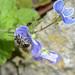 Wildbiene bee 170517 146.jpg