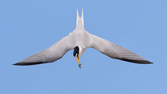 Aerial Prowess (bmse) Tags: least tern symmetry huntington beach california fish canon 7d2 400mm f56 l bmse salah baazizi wingsinmotion