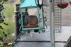 Wood Pidgeon in a Lantern (jdathebowler Thanks for 1.1 Million + views.) Tags: vividstriking woodpidgeon