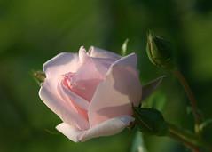 A rose for my sister (KsCattails) Tags: flower garden kscattails love macro overlandparkarboretum pink remembrance romance rose rosebud serene