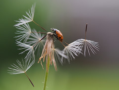 Ladybug (nuranaaba) Tags: ladybug dandelion flowers spores macro insect photography picture closeup shot spore