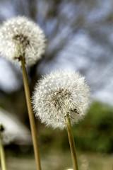 Abuelitos (Jo March11) Tags: naturaleza abuelitos flores taraxacumofficinale luz color contrapicado ieletxigerra idoiaeletxigerra eletxigerra canon canoneos planta