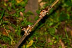 BOR_0823 (lucvanderbiest) Tags: fileearedtreefrog vliegendeboomkikker borneo maleisië sabah danumvalleywildlifereserve