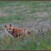 RedFox_6D_5980 (CrzyCnuk) Tags: redfox canada wildlife canon canon6d