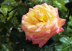 paris-151 (gabriel_flr) Tags: paris france seine ladéfense toureiffel bateaux grandearche gabrielflr gabrielflorea blueskies puteaux courbevoie macron investitureduprésident notredame rose roses rosen trandafiri trandafir blooms blumen fleures rosa