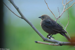 Female brown-headed cowbird (brian eagar - very busy - not much time to comment) Tags: bird animal nature wild wildliffe outdoor outside yard feeder fuji xt2 fujifilm xf100400 100400