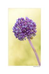 Allium (g.femenias) Tags: allium allieae inflorescence nature macro macrophotography sunsetlight sonbosc albufera muro mallorca