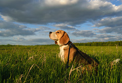 Хэйка (androsoff) Tags: beagle dog pet animal walking hunting field grass collar leash look summer nature evening sky clouds sunset sunny beautiful green white black brown purebred cute landscape