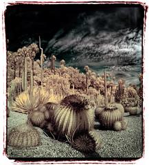 Costa i Llobera #005 (Ar@lee) Tags: barcelona catalunya jardinescostaillobera montjuïc fullspectrum fotografíainfrarroja photographyinfrared nikond50 cactus plantassuculentas d50 filter720nm paisaje airelibre bordeparafotos palmera árbol barcelonaexperience colours clouds nubes espectrecomplet garden ir panorámica sky trees