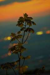 City lights in the background (niknak2016) Tags: sundown sunset sunsetphotography beautyinnature naturalbeauty nature naturephotography scenery scenics background bokeh citylights foliage branch leaves greenleaves countryside countrysidephotography landscapephotography landscape hillside lookingdown fromabove picturesque