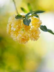 木香薔薇 (Polotaro) Tags: mzuikodigital45mmf18 flower nature olympus epm2 pen 花 自然 オリンパス ペン モッコウバラ 5月 庭 garden